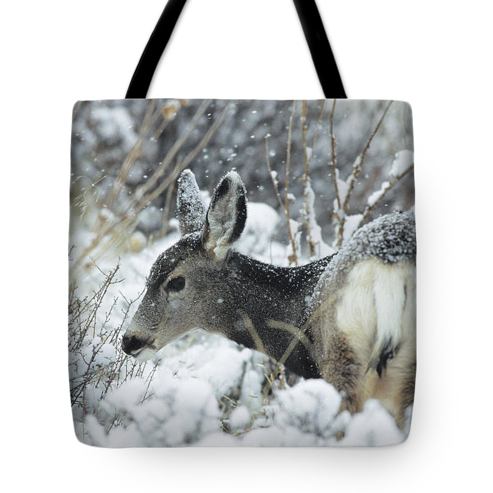 Backs Tote Bag featuring the photograph Mule Deer Odocoileus Hemionus In Snow by Philippe Henry