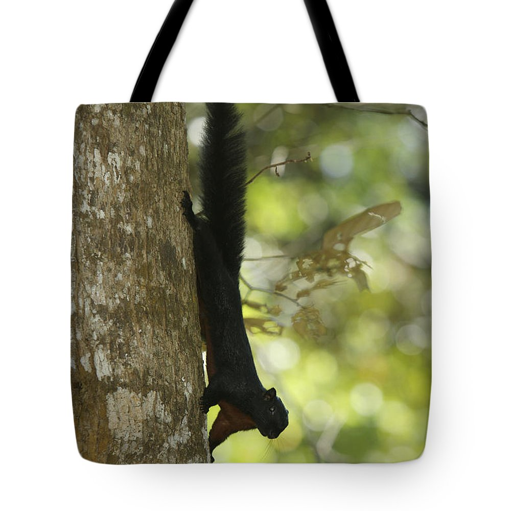 Borneo Tote Bag featuring the photograph Prevosts Squirrel Facing Downward by Tim Laman