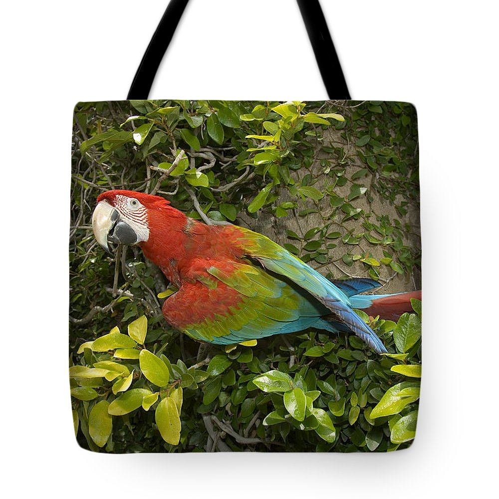 Ara Macao Tote Bag featuring the photograph Scarlet Macaw Ara Macao Adult Perching by San Diego Zoo