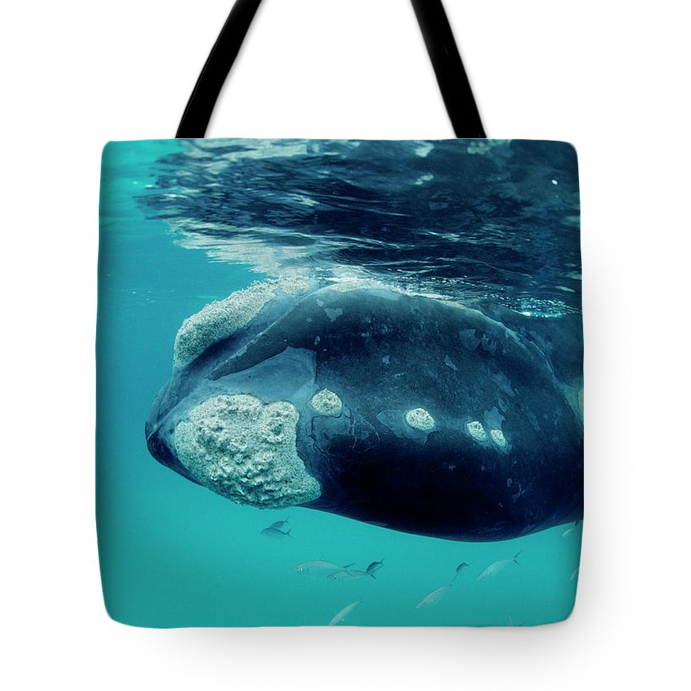 Mp Tote Bag featuring the photograph Southern Right Whale Eubalaena by Mike Parry