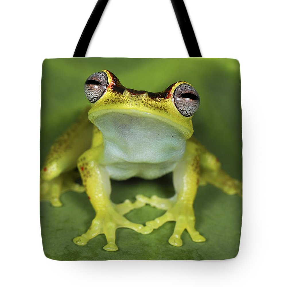 Mp Tote Bag featuring the photograph Tree Frog Hyla Rubracyla At Night by Thomas Marent