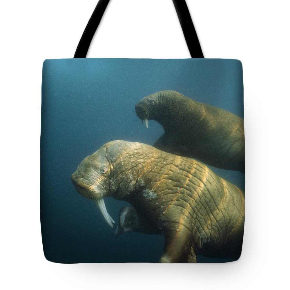 Underwater Tote Bag featuring the photograph Two Pacific Walruses Swim Together by Bill Curtsinger