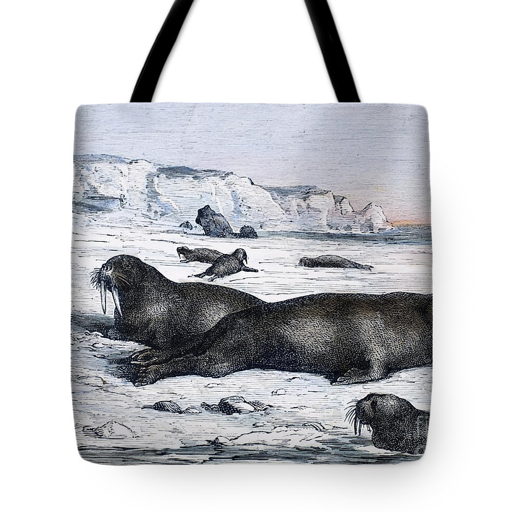 19th Century Tote Bag featuring the photograph Walruses On Ice Field by Granger