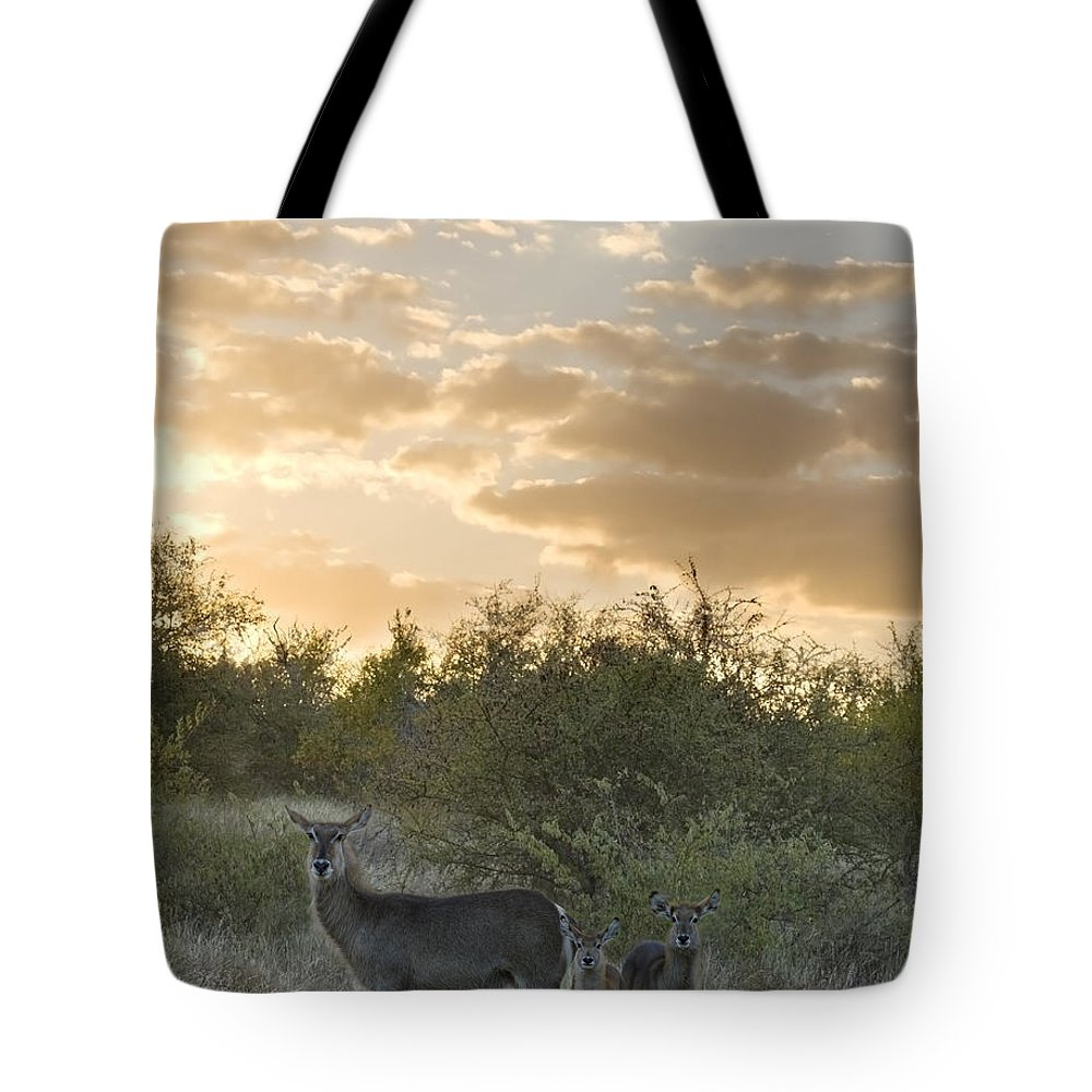 Mp Tote Bag featuring the photograph Waterbuck Kobus Ellipsiprymnus Mother by Matthias Breiter