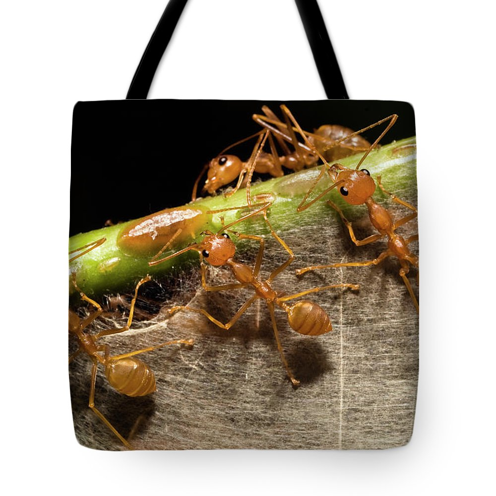 Mp Tote Bag featuring the photograph Weaver Ant Oecophylla Longinoda Group by Konrad Wothe