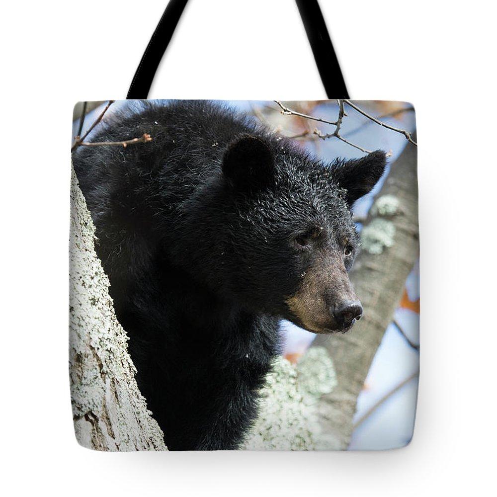 Black Bear Tote Bag featuring the photograph Black Bear by Dennis DiMauro Jr
