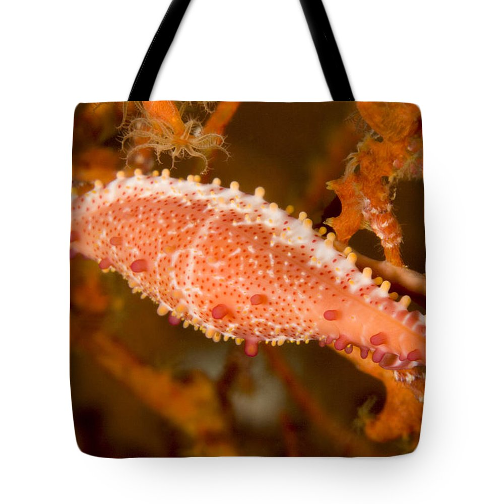 Spindle Cowrie Snails Tote Bag featuring the photograph A Spindle Cowrie Snailphenacovolva Sp by Tim Laman