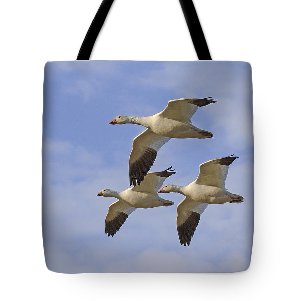 Snow Geese Tote Bag featuring the photograph Captured Flight Of Snow Geese by Allan Levin