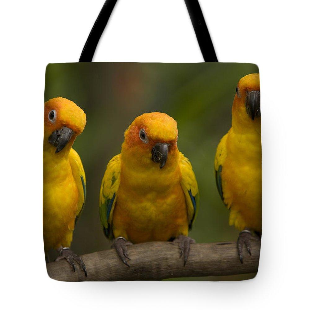 Closeups Tote Bag featuring the photograph Closeup Of Three Captive Sun Parakeets by Tim Laman