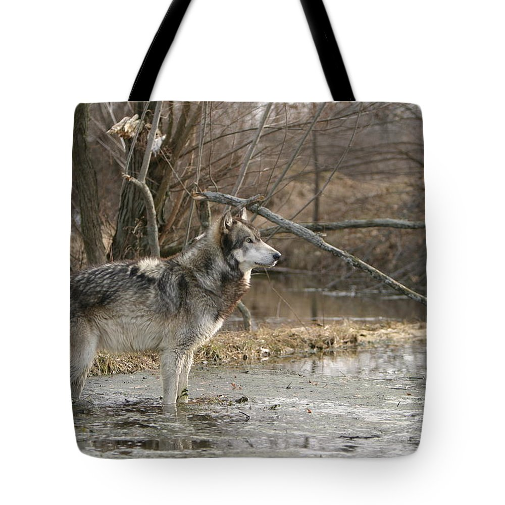 Wolf Canid Canus Lupis Wildlife Wild Animal Mammal Gray Grey Timberwolf Photograph Photography Digital Art Tote Bag featuring the photograph Concentration by Shari Jardina