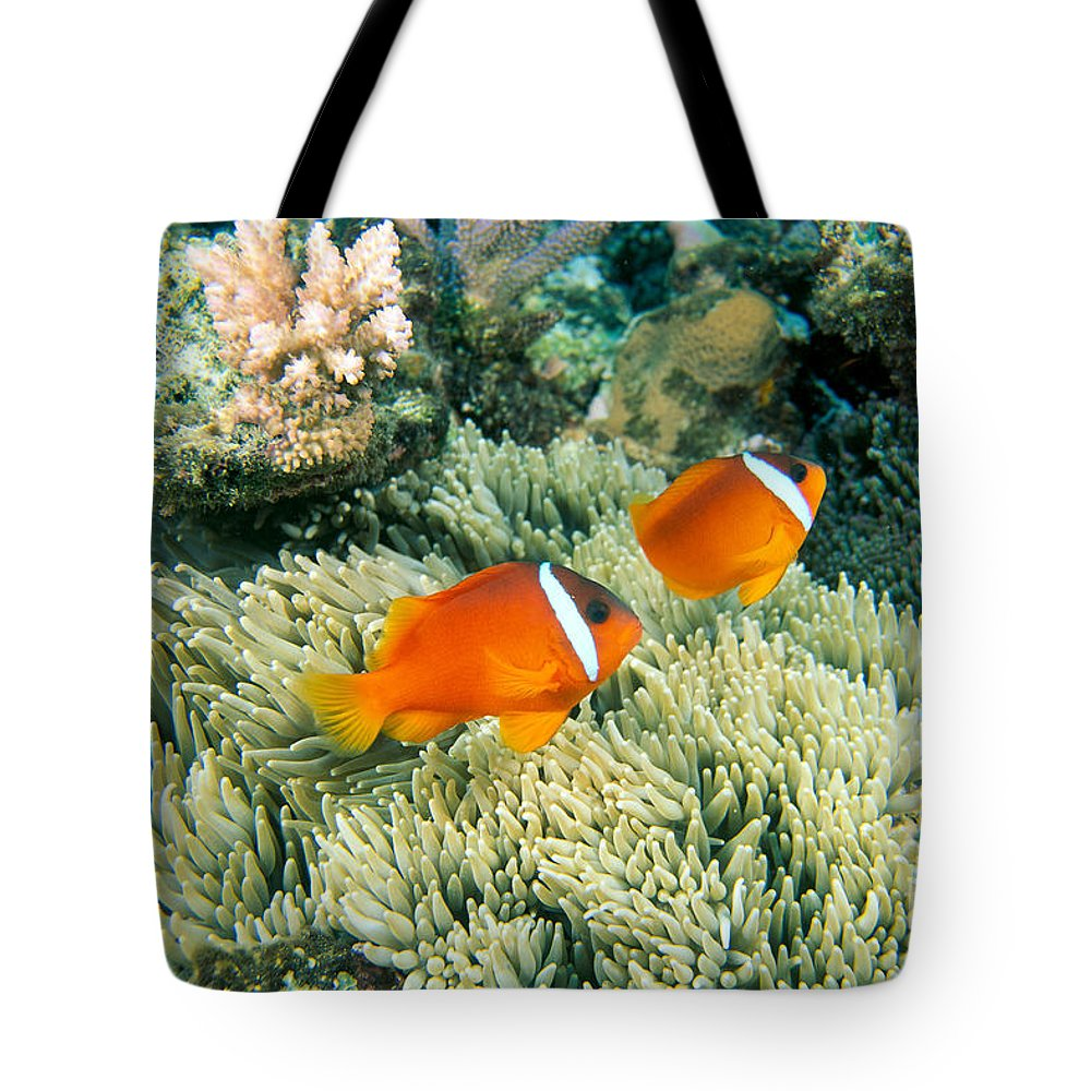 Amphiprion Melanopus Lifestyle Products