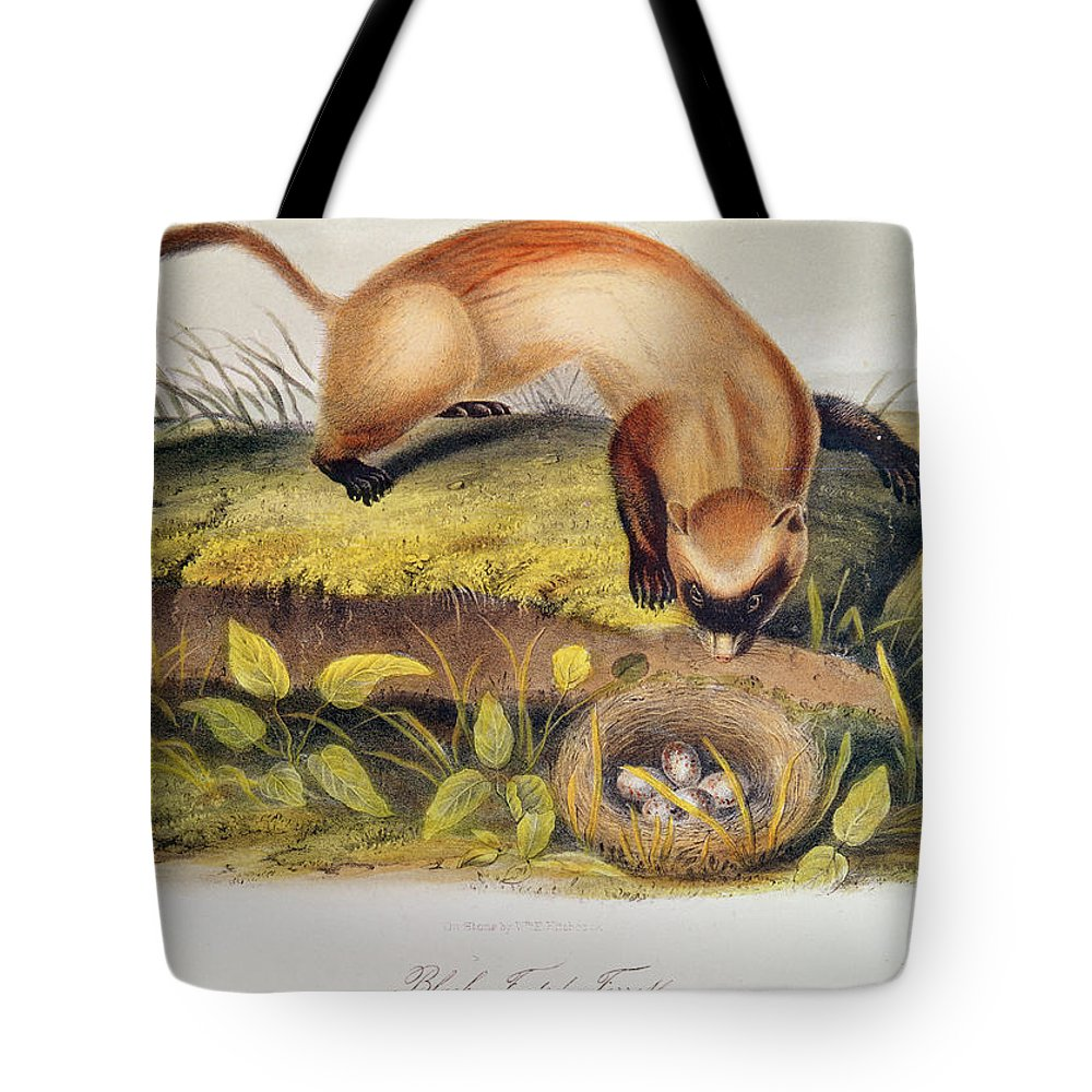 Black-footed Ferret From Quadrupeds Of North America (1842-5) By John James Audubon (1785-1851) Tote Bag featuring the painting Ferret by John James Audubon
