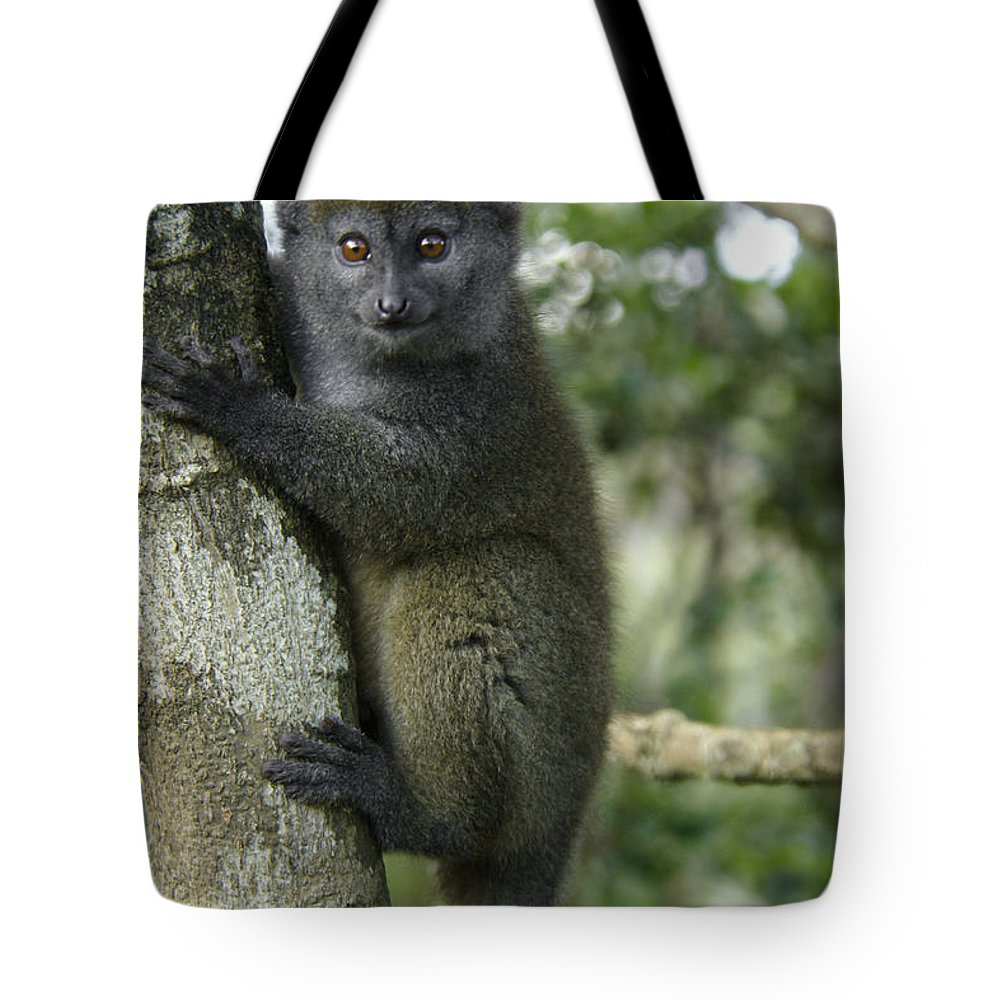 Madagascar Tote Bag featuring the photograph Gray Bamboo Lemur by Michele Burgess