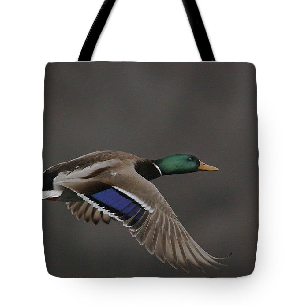 Mallard Tote Bag featuring the photograph Mallard Duck in Flight Artsy2 by Nikki Vig