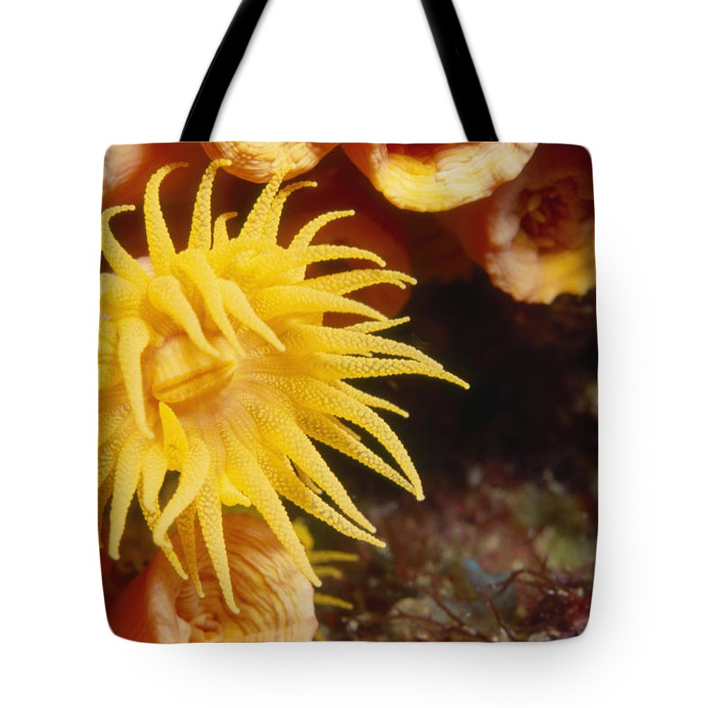 Sea Of Cortez Tote Bag featuring the photograph Oange Cup Coral, Tubastraea Coccinea by James Forte