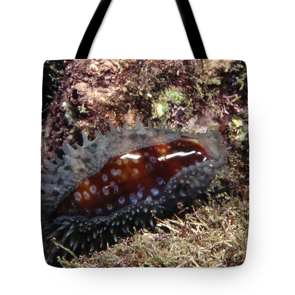 Costa Rica Tote Bag featuring the photograph Panamic Deer Cowrie, Cypraea Cervinetta by James Forte
