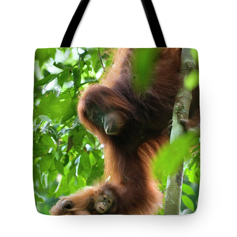 Mp Tote Bag featuring the photograph Sumatran Orangutan Pongo Abelii Two by Suzi Eszterhas