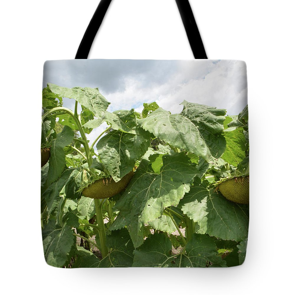 Sunflowers Tote Bag featuring the photograph The Beautiful Three by To-Tam Gerwe