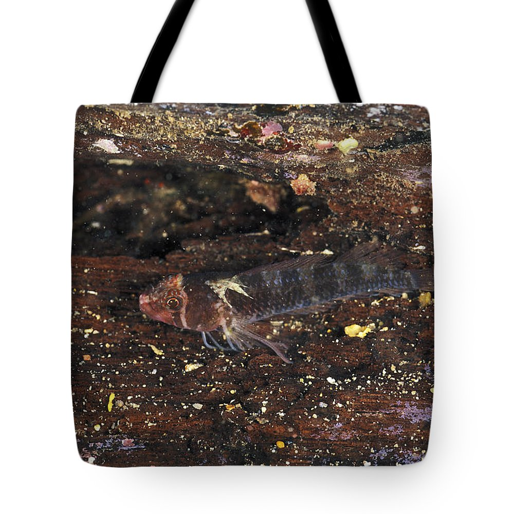 Australia Tote Bag featuring the photograph Threefin Blennie Like Fish On Log by James Forte