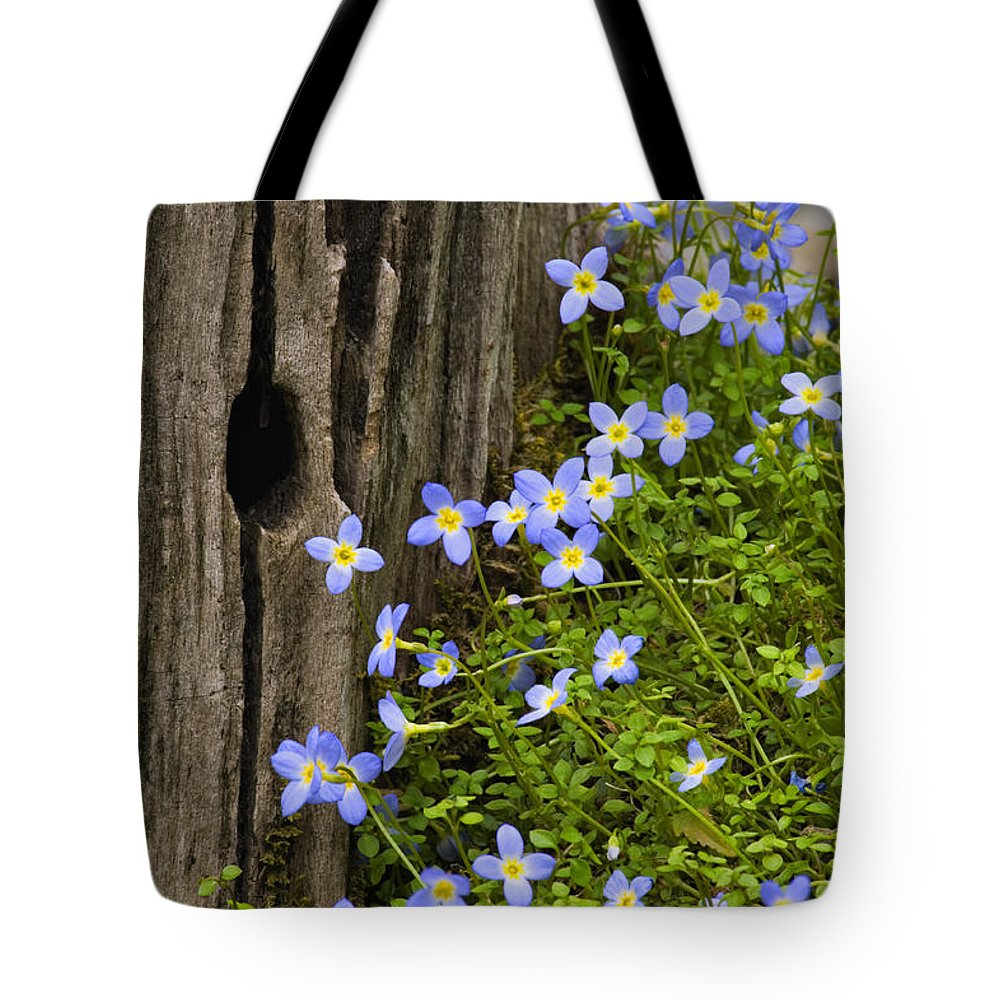 Houstonia. Serpyllifolia. Thyme-leaved Tote Bag featuring the photograph Thyme-leaved Bluets - D008426 by Daniel Dempster