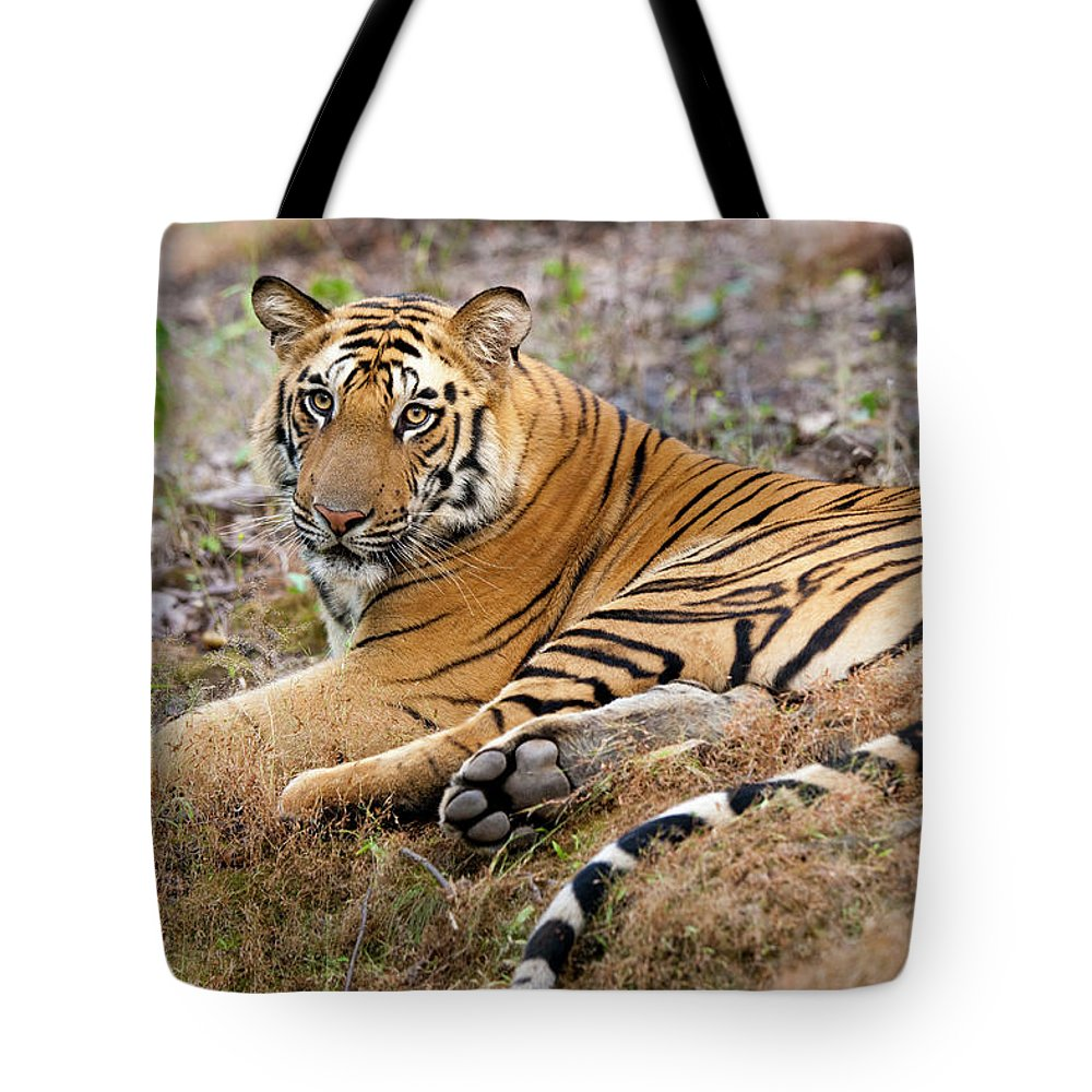 Looking Over Shoulder Tote Bag featuring the photograph An Adult Tiger In Bandhavgarh National by Mint Images - Art Wolfe