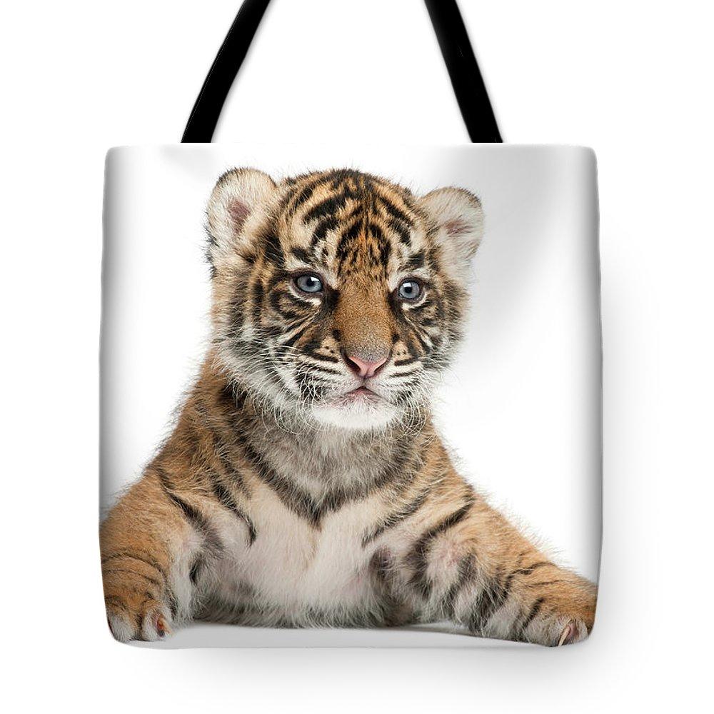 White Background Tote Bag featuring the photograph Sumatran Tiger Cub - Panthera Tigris by Life On White