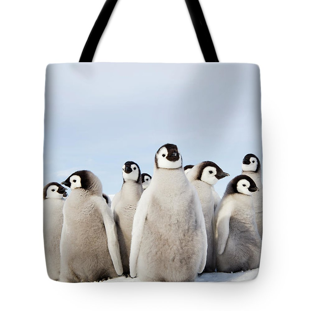 Emperor Penguin Tote Bag featuring the photograph A Nursery Group Of Emperor Penguin by Mint Images - David Schultz