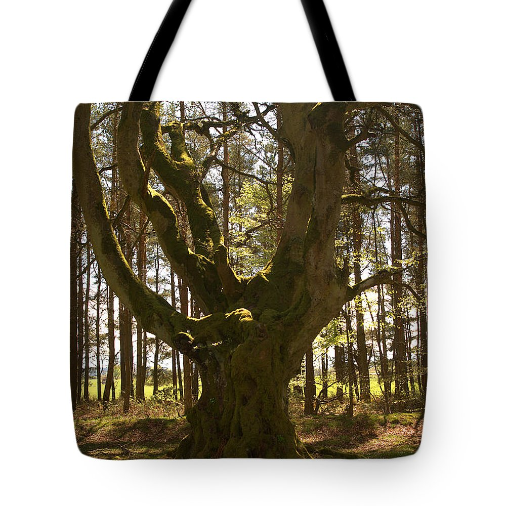 Greenlaw Tote Bag featuring the photograph ancient tree in forest near Greenlawin Scottish Borders by Victor Lord Denovan
