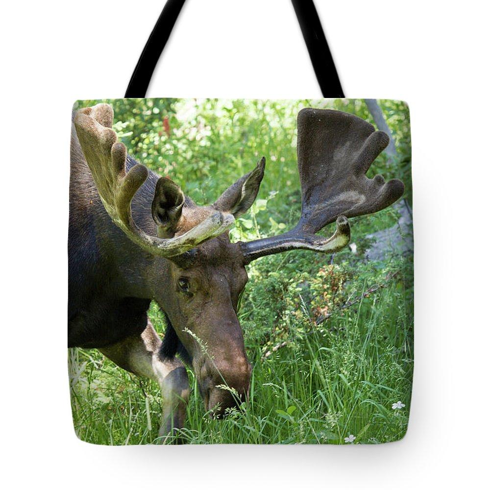 Bull Moose Tetons National Park Tote Bag featuring the photograph Bull Moose Tetons National Park by Rick Veldman