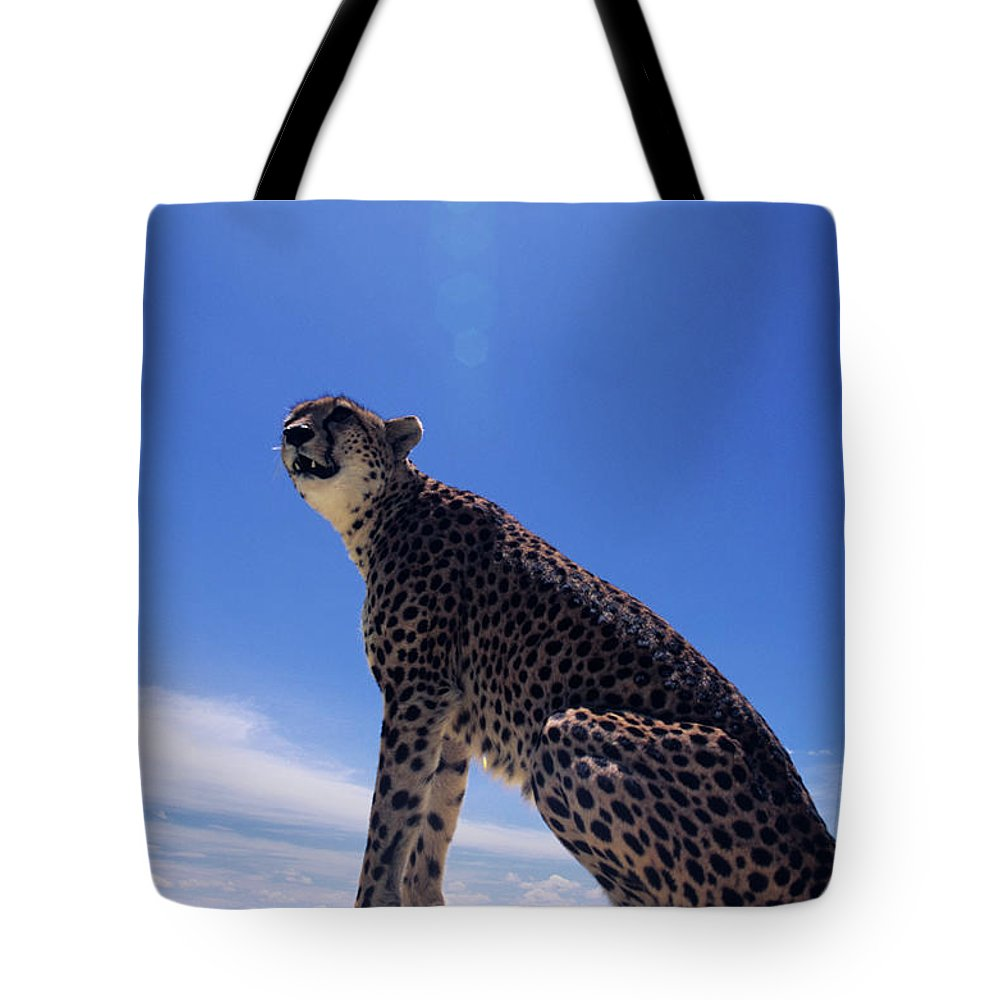 Kenya Tote Bag featuring the photograph Cheetah Acinonyx Jubatus, Against Blue by Anup Shah