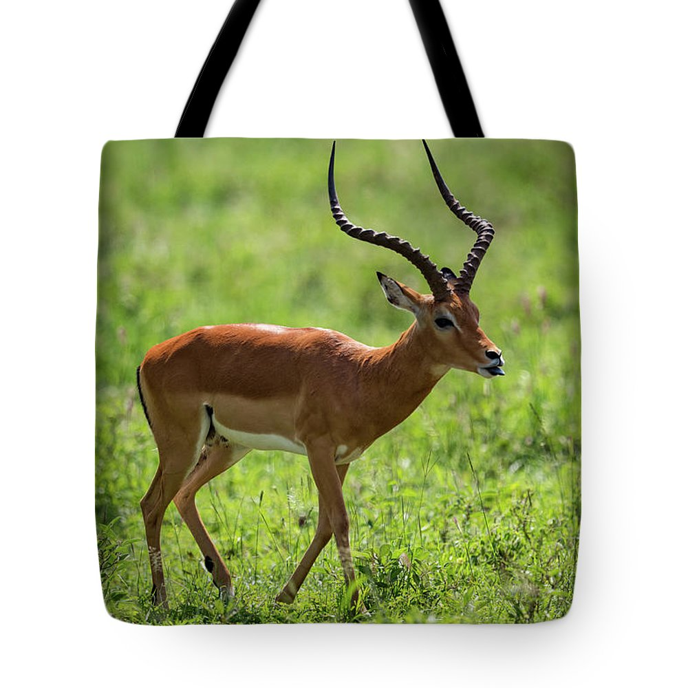Aepyceros Melampus Tote Bag featuring the photograph Male Impala Crossing Grassland With Tongue Out by Ndp