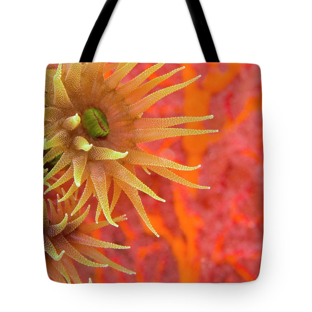 Underwater Tote Bag featuring the photograph Orange Cup Coral Tubastraea Sp by Rene Frederick