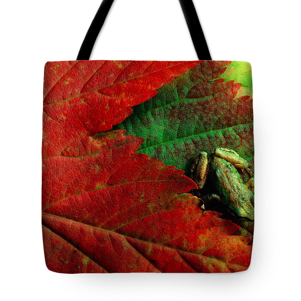 Pacific Tree Frog Tote Bag featuring the photograph Pacific Tree Frog Hyla Regilla On Maple by Art Wolfe