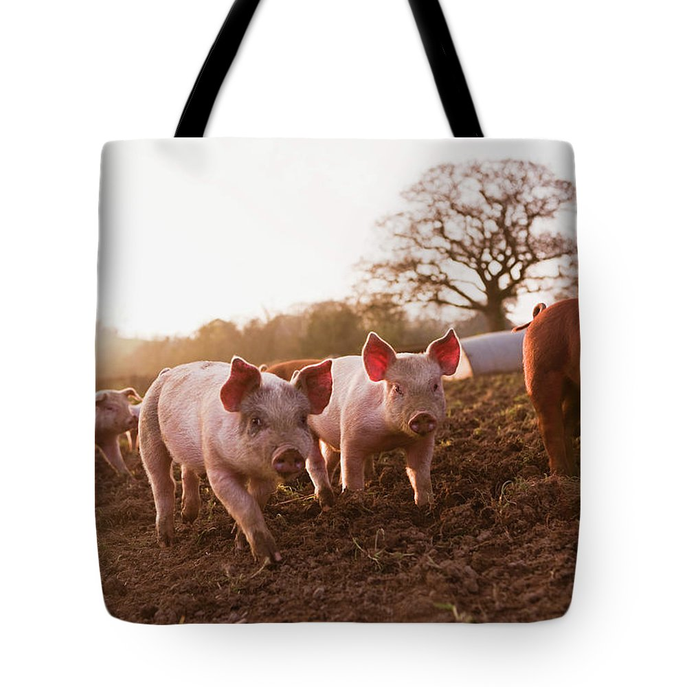 Pig Tote Bag featuring the photograph Piglets In Barnyard by Jupiterimages