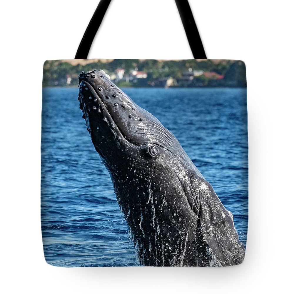 00595515 Tote Bag featuring the photograph Juvenlie Humpback Breaching by Flip Nicklin