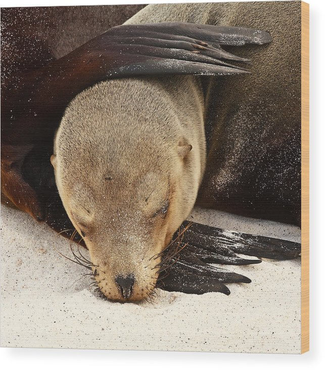 Galapagos Wood Print featuring the photograph Galapagos Sea Lion by Stephanie Brand