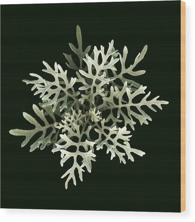 Scanography Wood Print featuring the photograph Dusty Miller by Deborah J Humphries