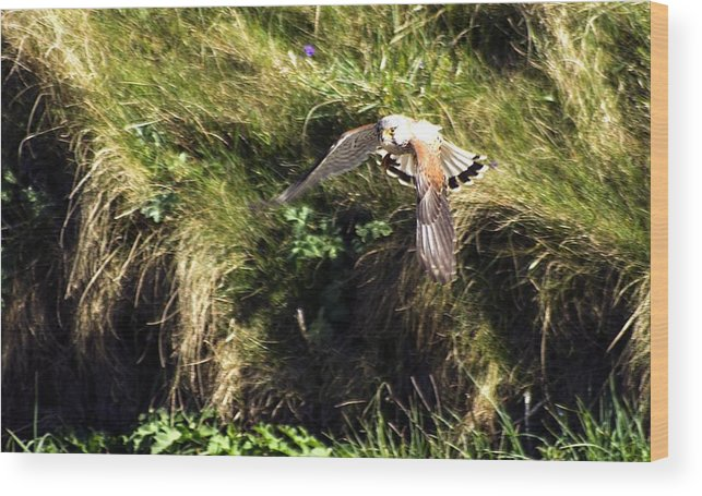 Wood Print featuring the photograph Falcon by Keith Sutton