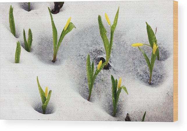 Yellow Avalanche Lily Wood Print featuring the photograph Glacier Lilies (erythronium Grandiflorum) by Bob Gibbons