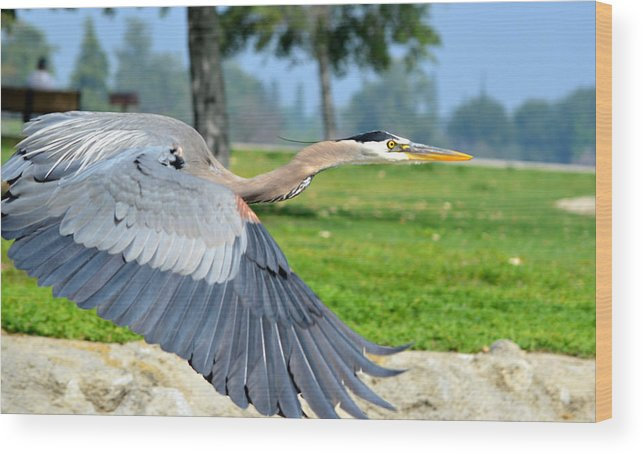 Great Blue Heron Wood Print featuring the photograph Away From Here by Fraida Gutovich