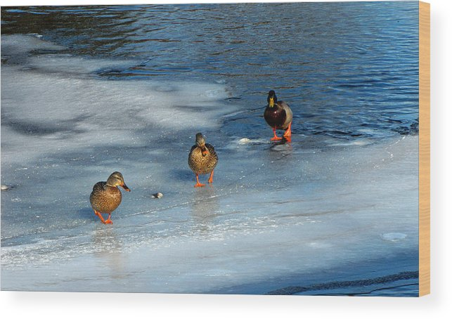 Duck Photographs Wood Print featuring the photograph Follow The Leader Duck Style by Ms Judi
