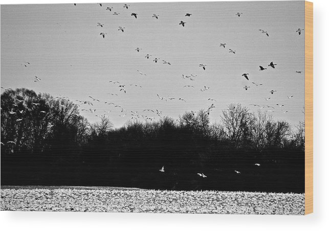 Snow Geese Wood Print featuring the photograph Snow Geese Winter Home In Delaware by Mark Holden