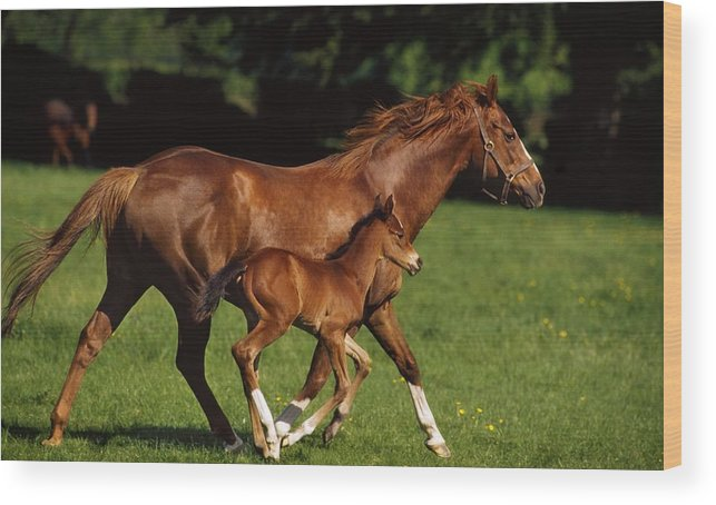 Bridle Wood Print featuring the photograph Thoroughbred Chestnut Mare & Foal by The Irish Image Collection