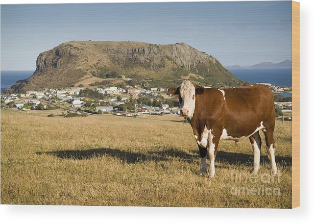 Animal Wood Print featuring the photograph Stanley Tasmania by Tim Hester