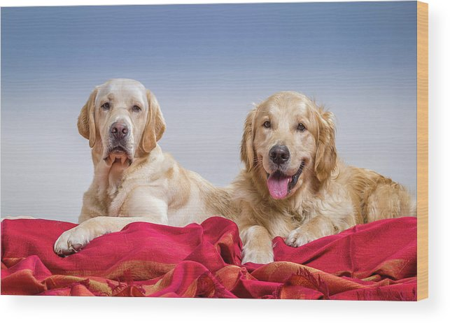 Photography Wood Print featuring the photograph Portrait Of A Golden Retriever by Animal Images