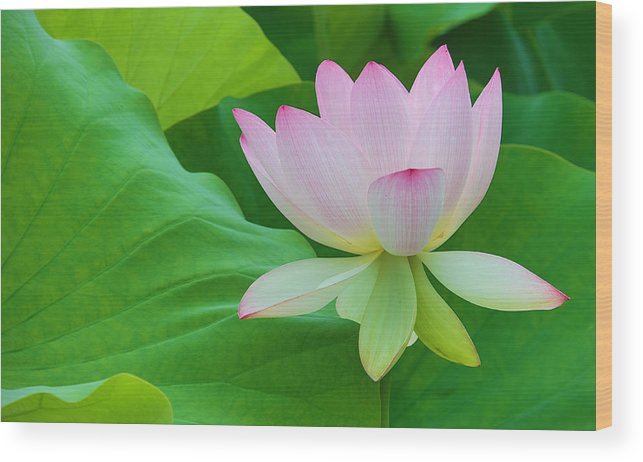 Pink Wood Print featuring the photograph White Lotus Flower by Jack Nevitt