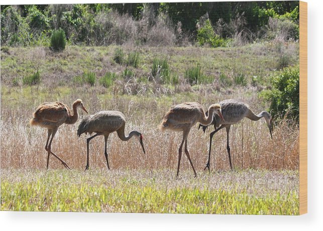 Sandhill Cranes Wood Print featuring the photograph Back To The Salt Mines by Carol Groenen