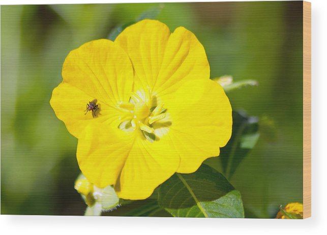 Flower Wood Print featuring the photograph Flower Fly by Wild Expressions Photography