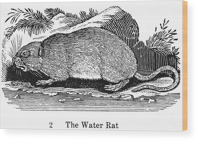 19th Century Wood Print featuring the photograph Water Rat by Granger