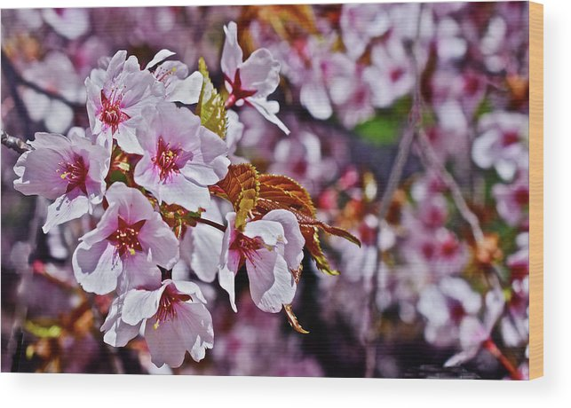 Cherry Trees Wood Print featuring the photograph 2017 Earthday Olbrich Gardens Fuji Cherry 1 by Janis Nussbaum Senungetuk